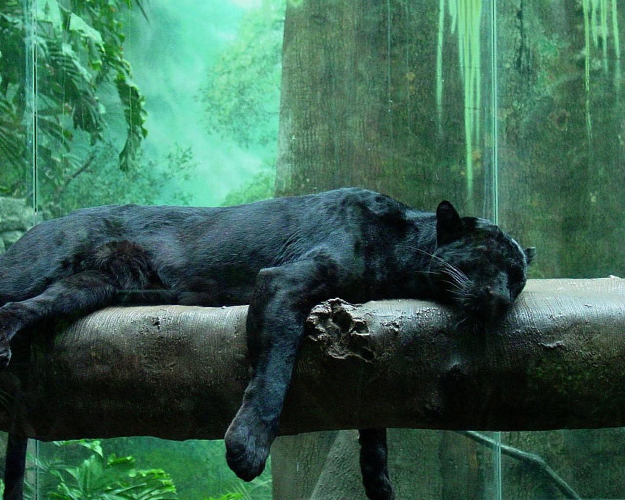 Jungle Animals Panthers Black Panther Fresh Hd Wallpaper 1280x1024