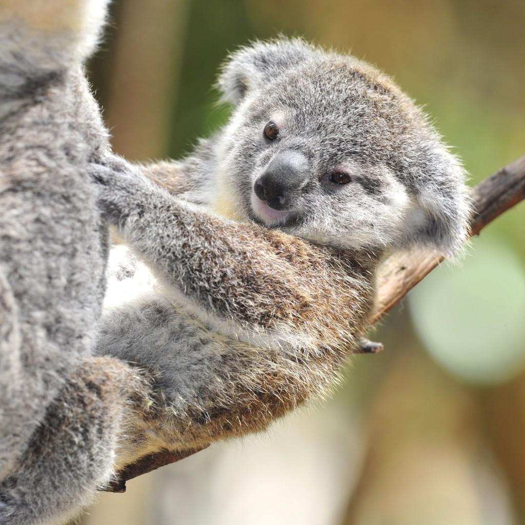 Cute Baby Koala Wallpaper