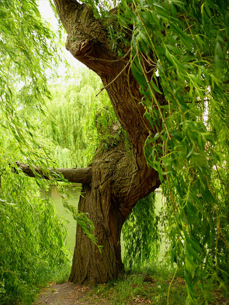 Willow Tree Stock Photo   Public Domain Pictures 461x615