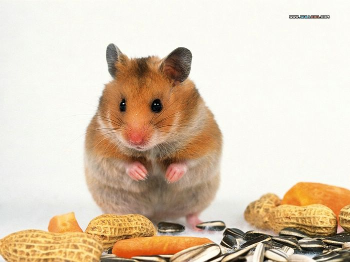 Cute Hamsters Little creatures hamsters wallpapers Lovely hamsters 700x525