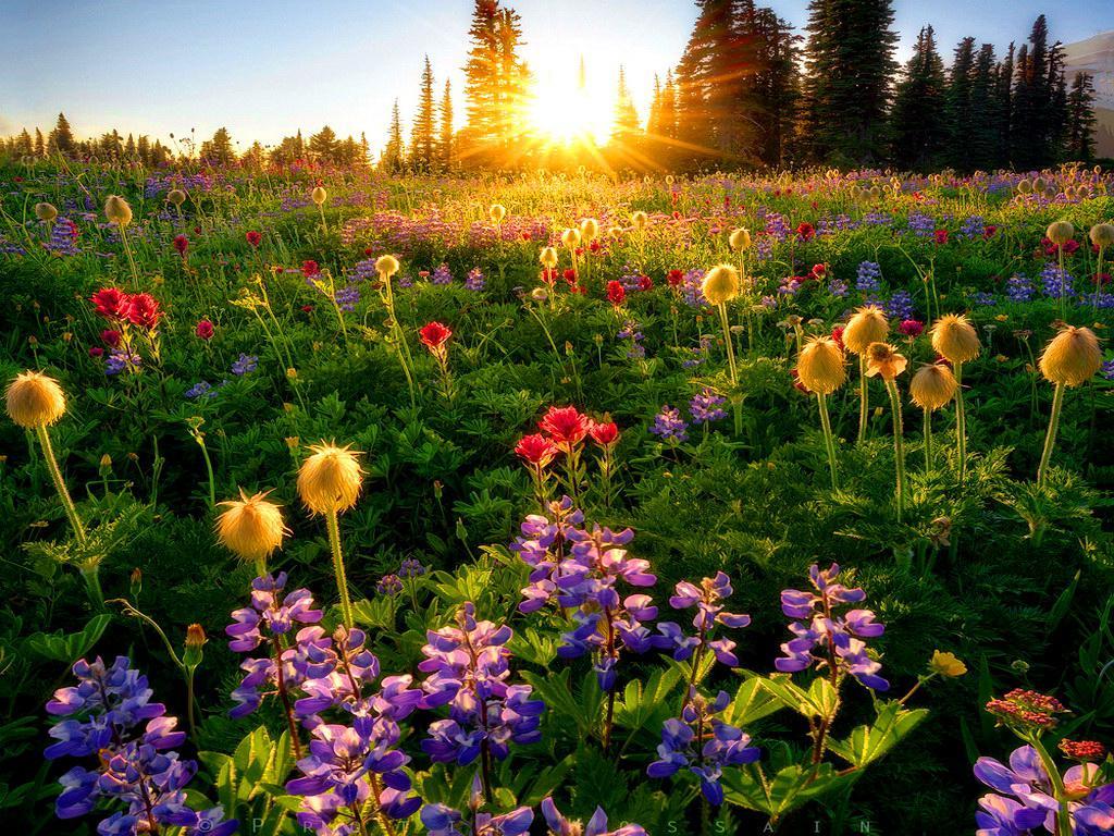 Spring Flowers Tulips Field Sunrise Grass Clouds: Spring Sunrise Wallpaper