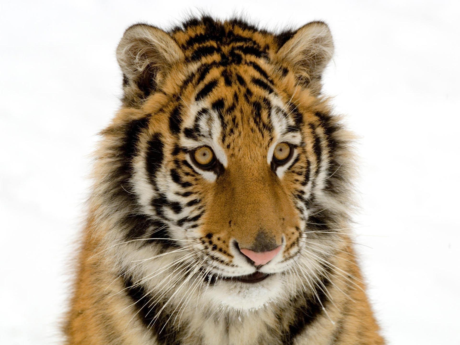 URL httpmobile wallpapersfeedionetbaby tiger desktop wallpaper 1920x1440