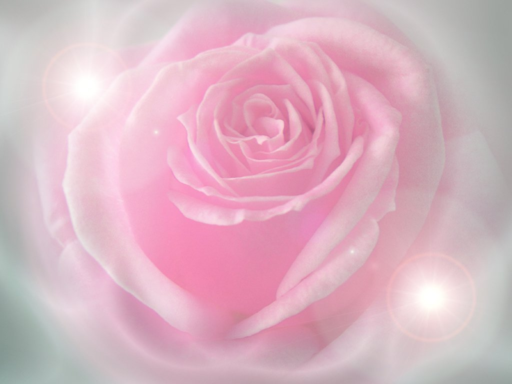 Pink Rose Wallpaper 10930 Hd Wallpapers in Flowers   Imagescicom 1024x768
