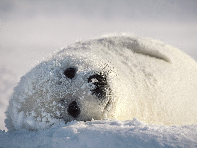 ANIMALS PICTURE Animals Wallpaper Cute baby Seal 800x600
