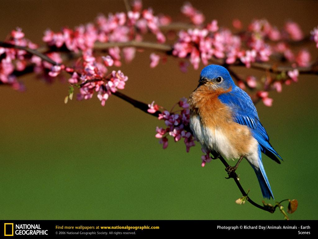 Bluebird Picture Desktop Wallpaper Wallpapers 1024x768