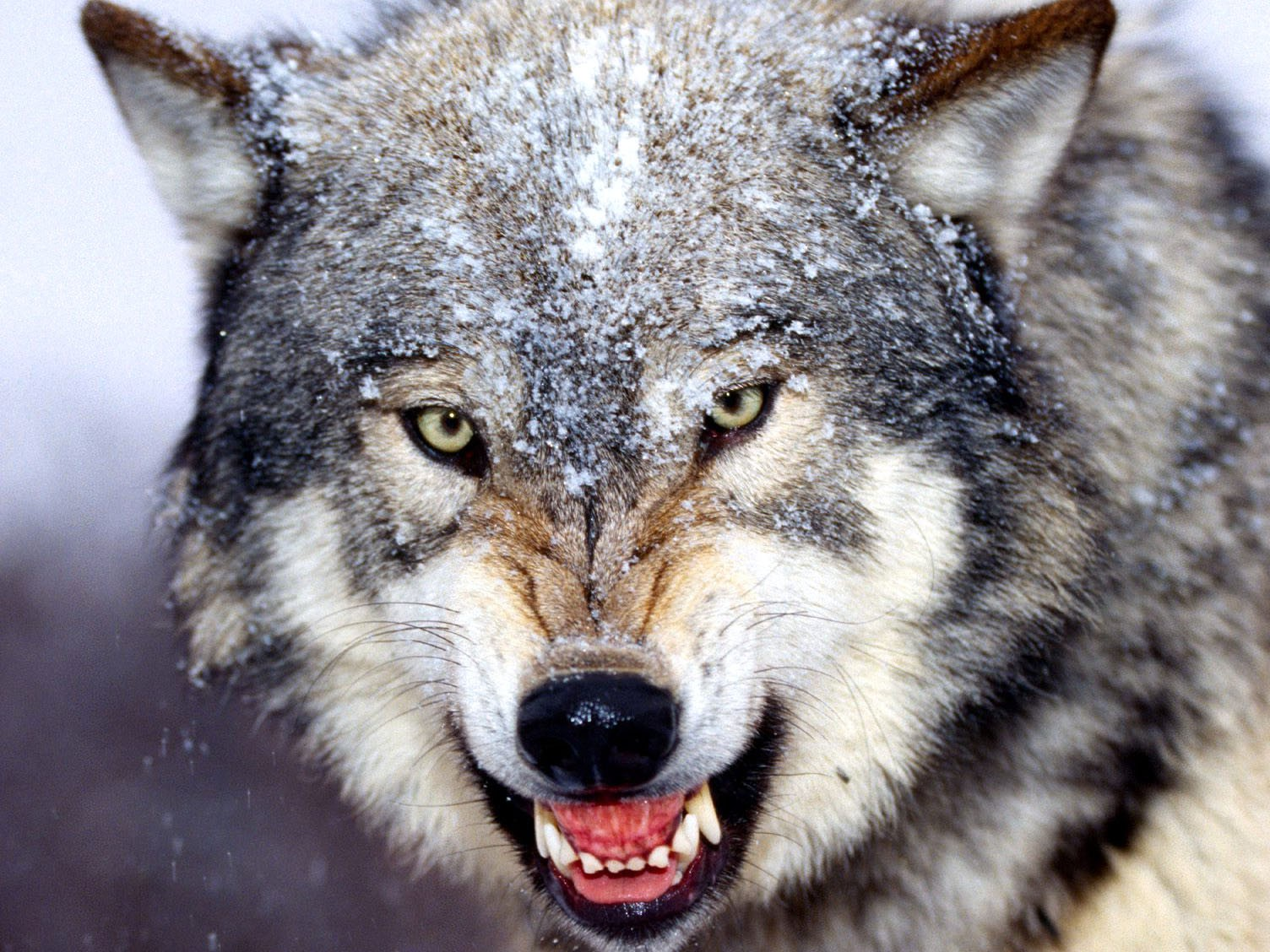 Wolf Growl HD Animal Wallpapers Pet Love Widescreen Animal 1504x1128