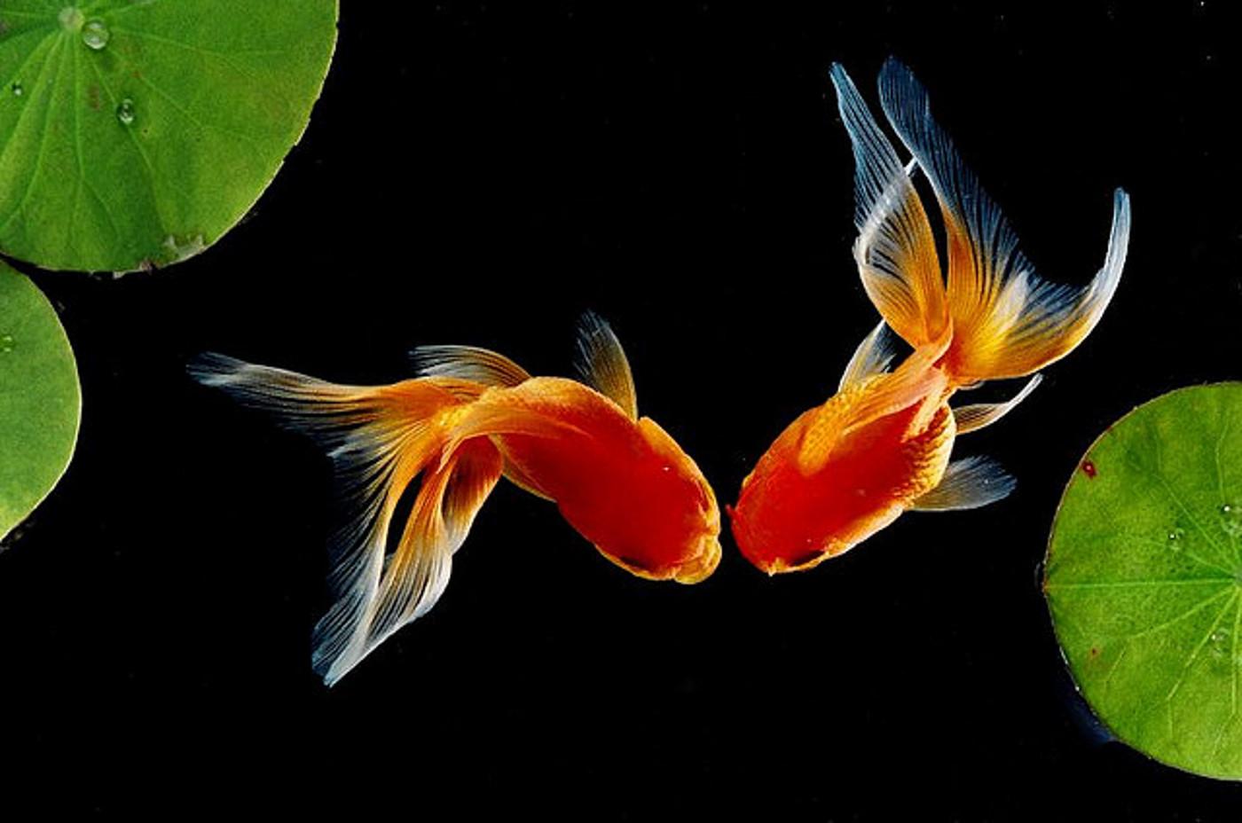goldfish wallpaper 17205 hd wallpapersjpg 1400x928