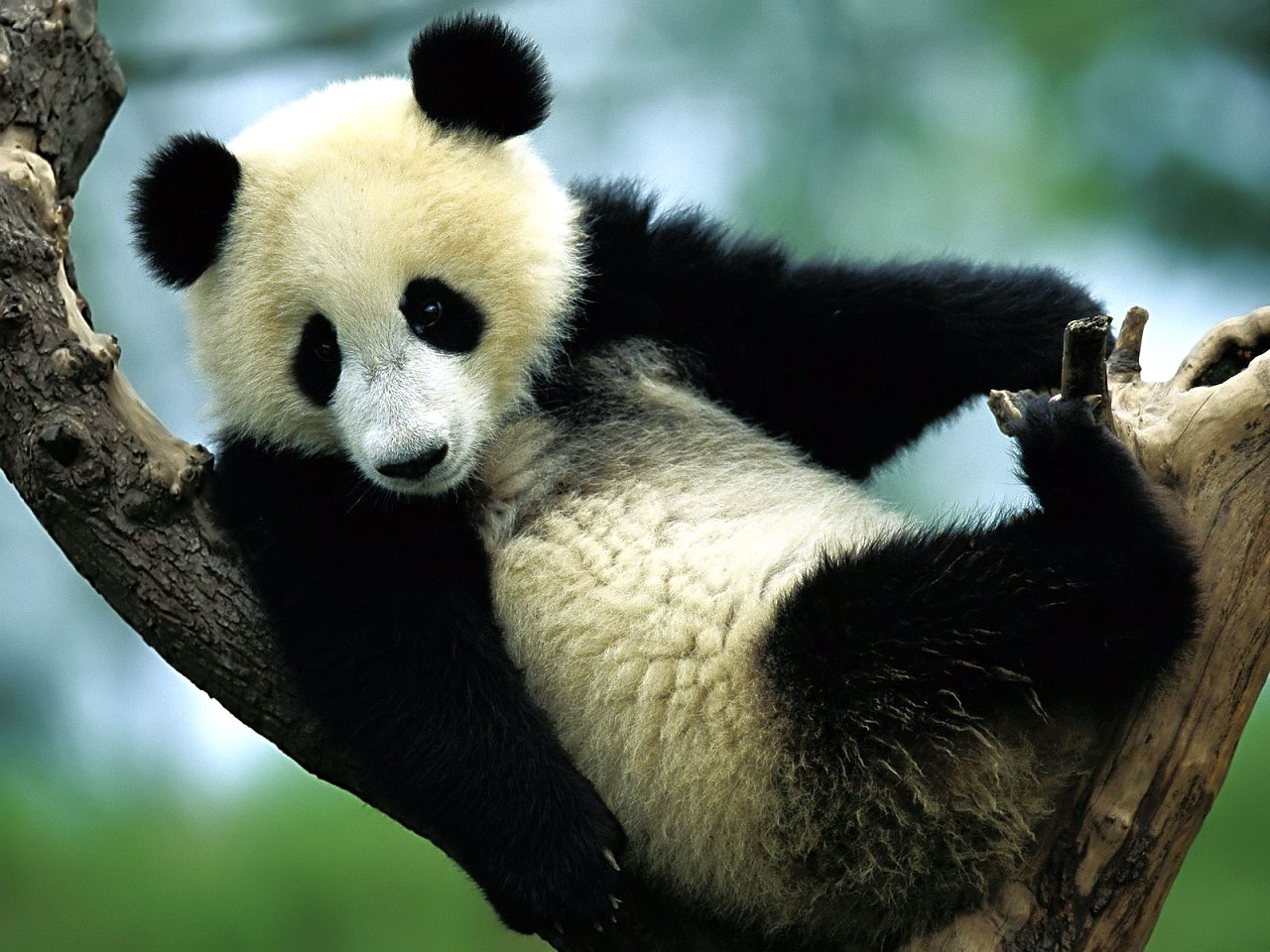 Panda Wallpaper   Cute Panda Bears Photos 1280x960
