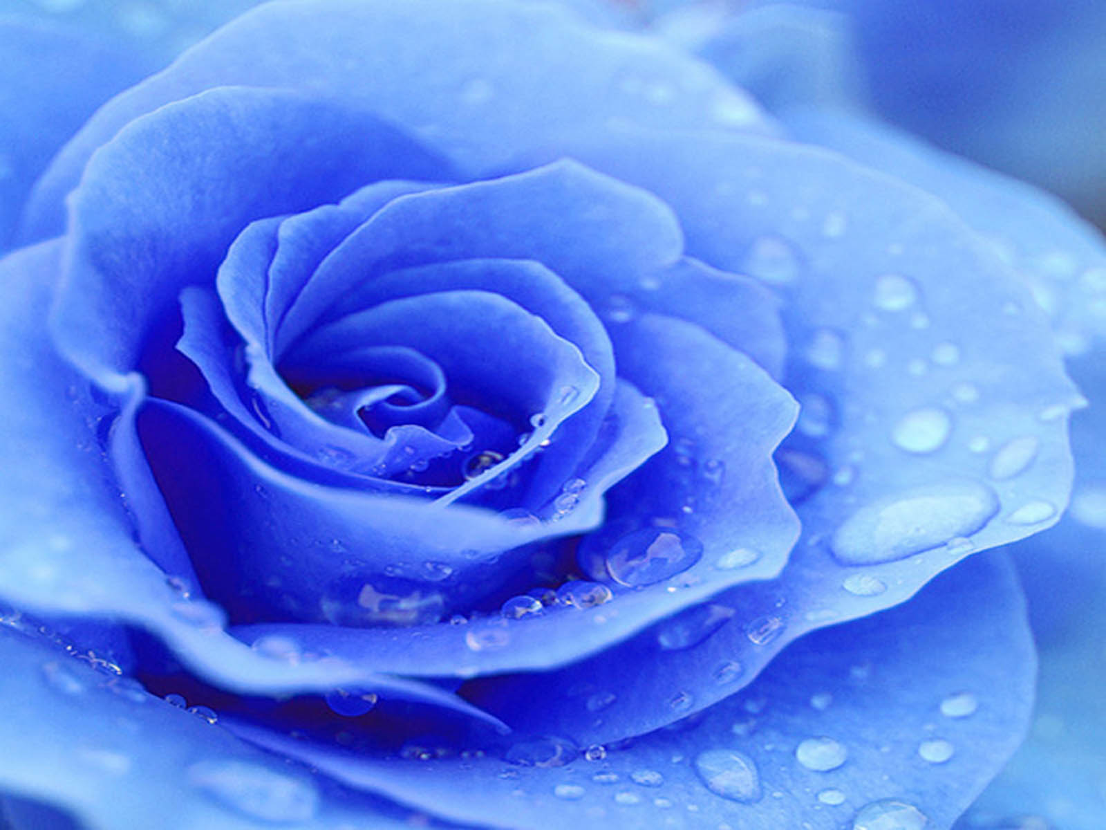 wallpapers Blue Rose Wallpapers 1600x1200