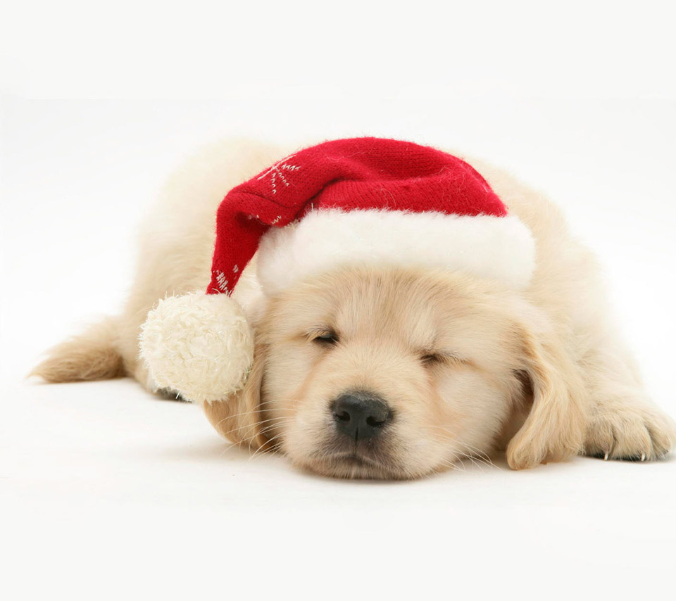 Cute Christmas Dog   Wallpapers Pictures Pics Photos Images 960x854