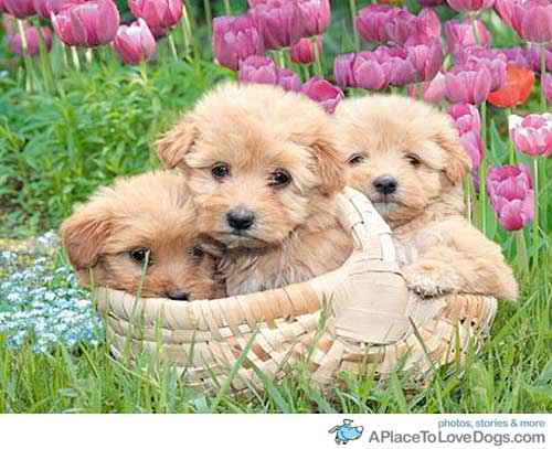 Cute spring puppies   Daydreaming Photo 29740499 500x407