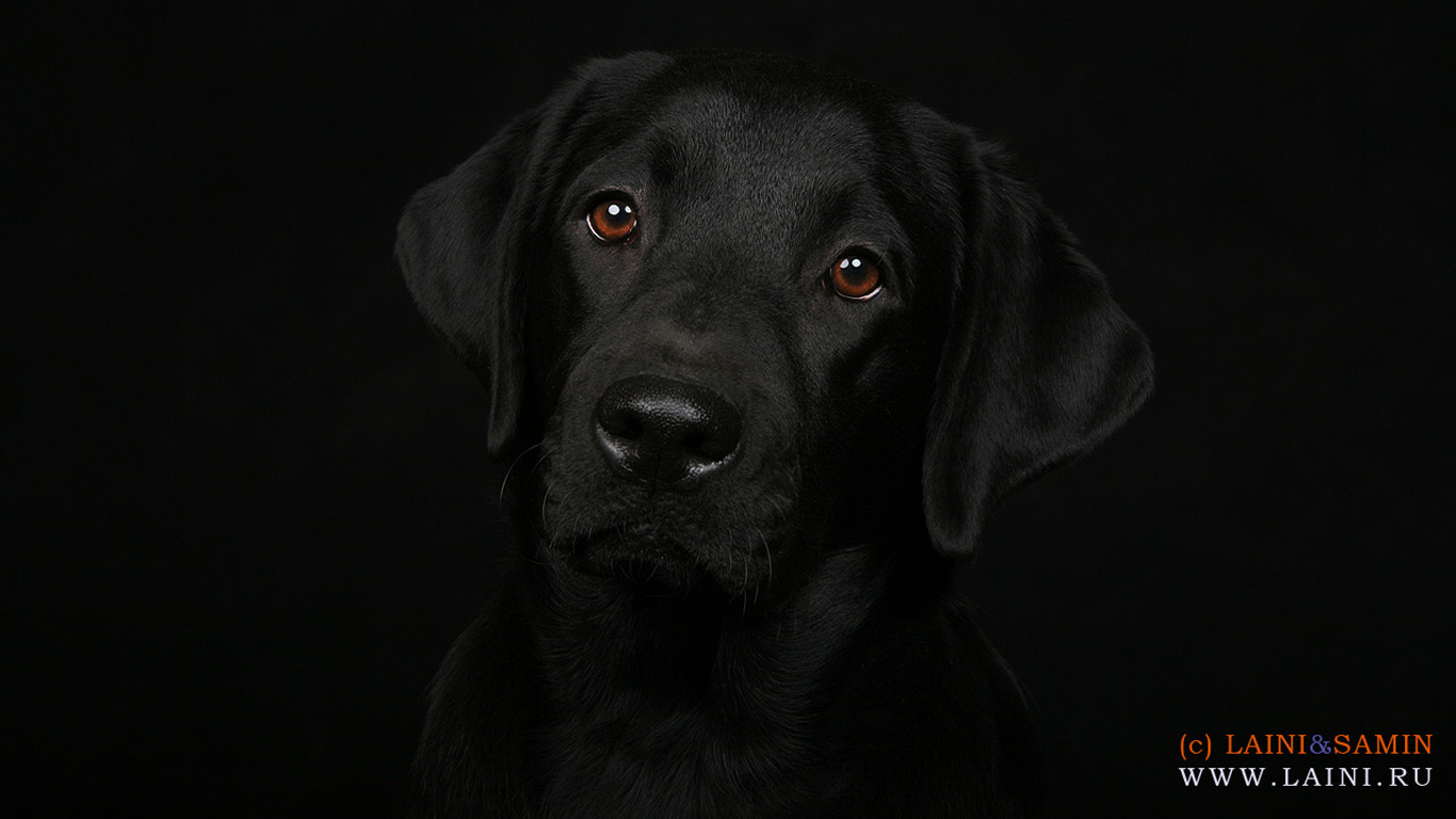 Labrador Retriever Wallpapers High Resolution and Quality Download 1366x768