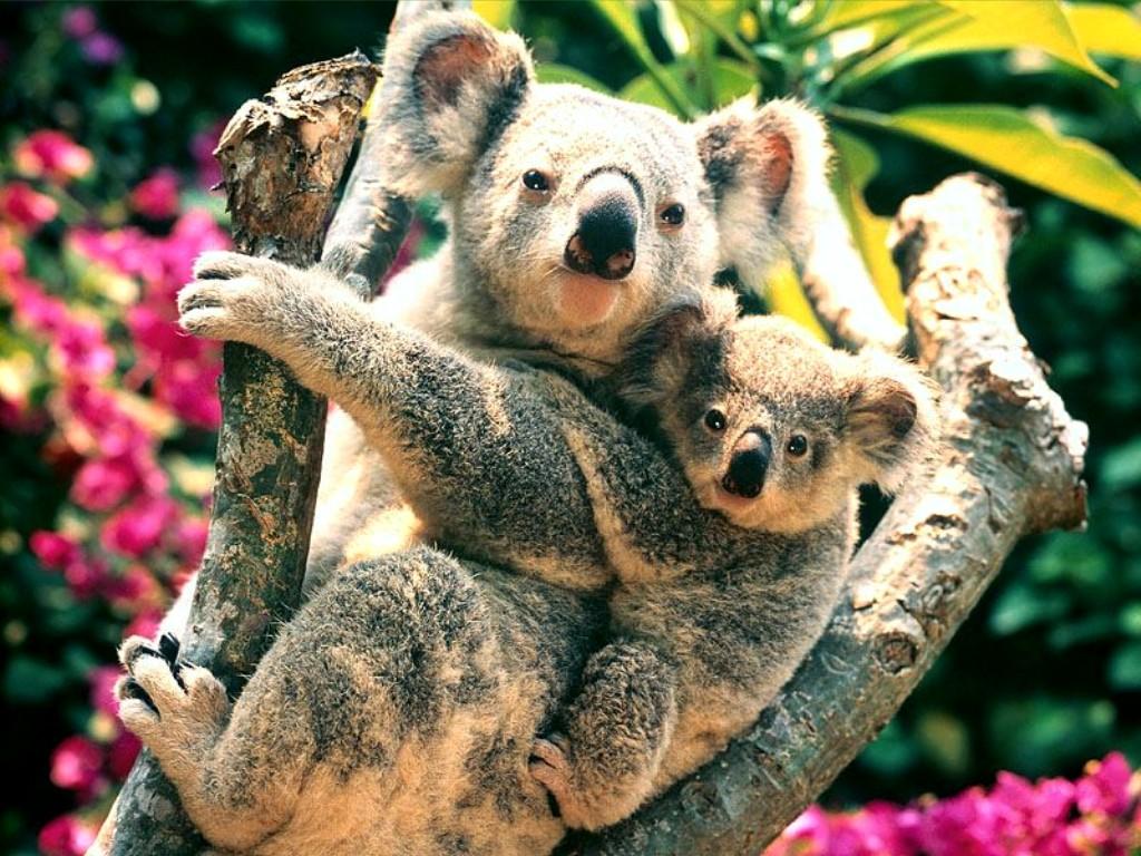 Koala Wallpaper Animal Literature 1024x768