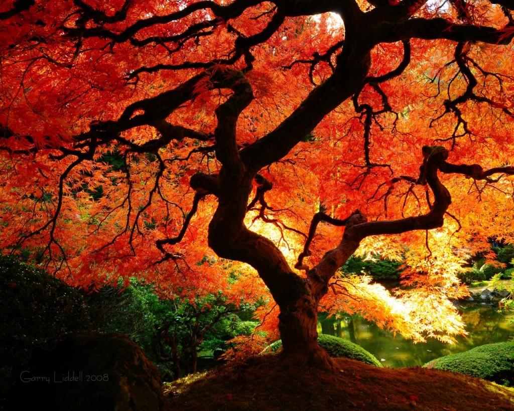 japanese maple wallpaper hd 1024819 wallpapers55com   Best 1024x819