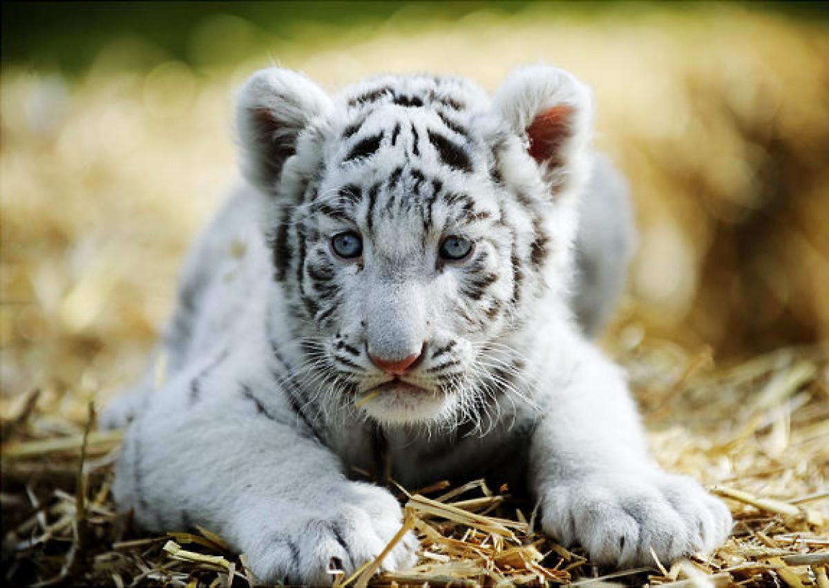 baby white tiger - HD1200×851