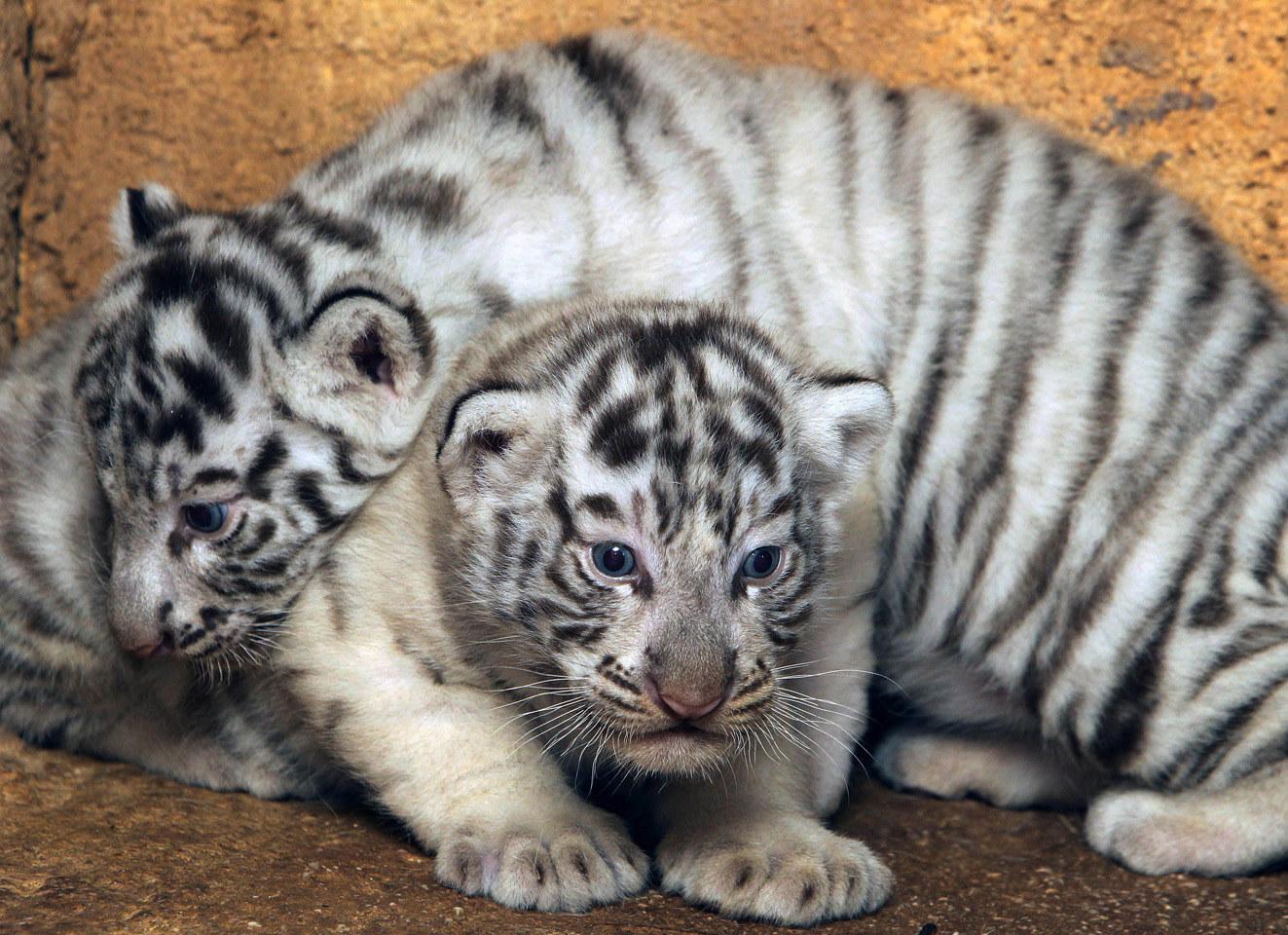 baby white tiger - HD1323×960