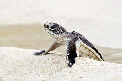 Baby Sea Turtle Wallpaper