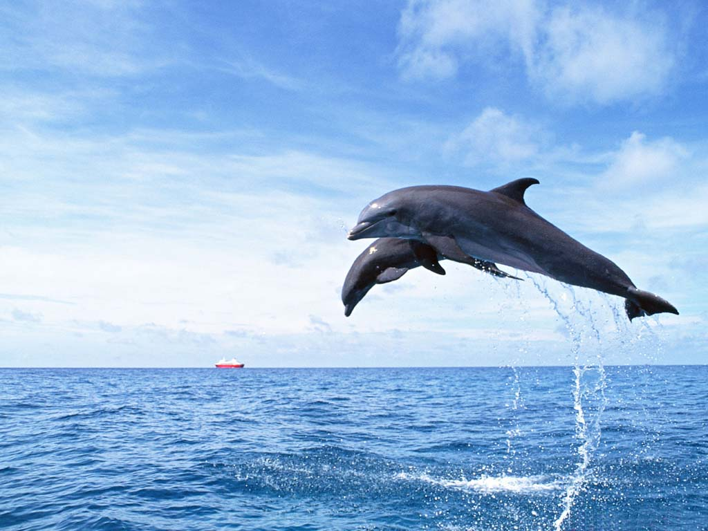 dolphin wallpaper 2 Dolphin Wallpaper 1024x768