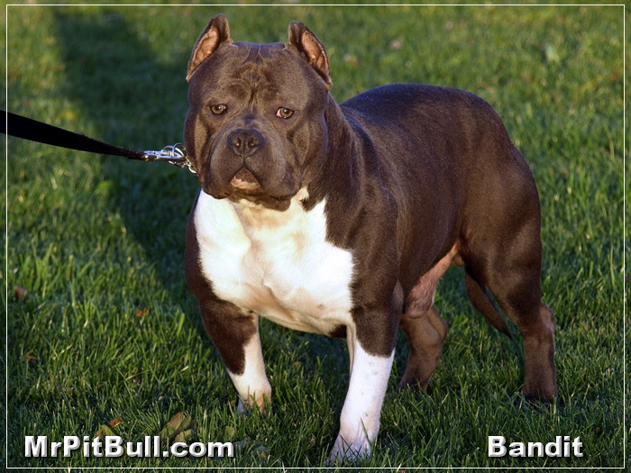 Bull Wallpapers Group With 61 Items: Wallpaper Pit Bull