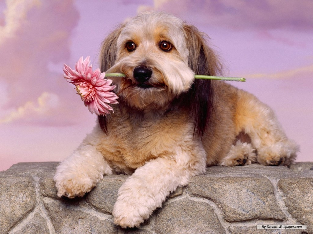 Toy Dog Wallpaper   Dogs Wallpaper 7014259 1024x768