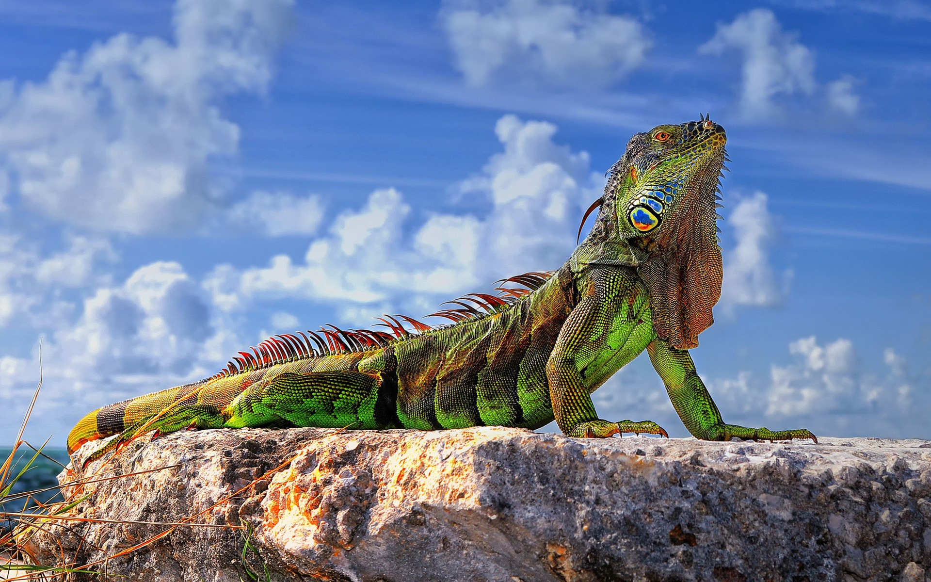 Green Iguana Wallpaper 1920x1200