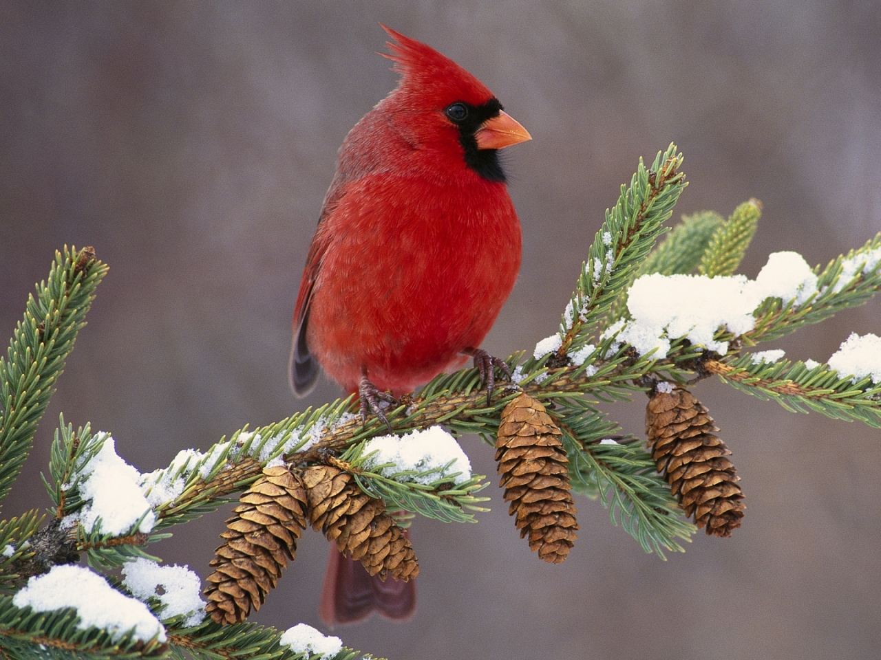 Cardinal Bird Color Wallpapers For PC Birds Cardinal Bird 1280x960