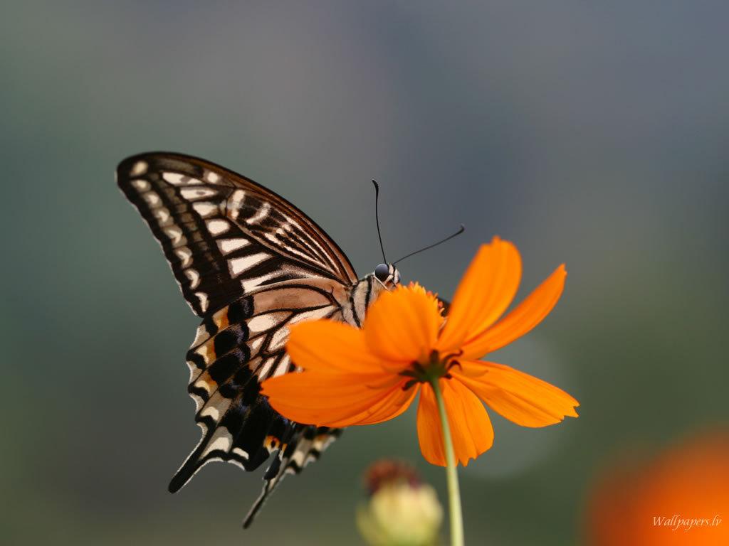Butterfly Wallpaper   Butterflies Wallpaper 7451109 1024x768