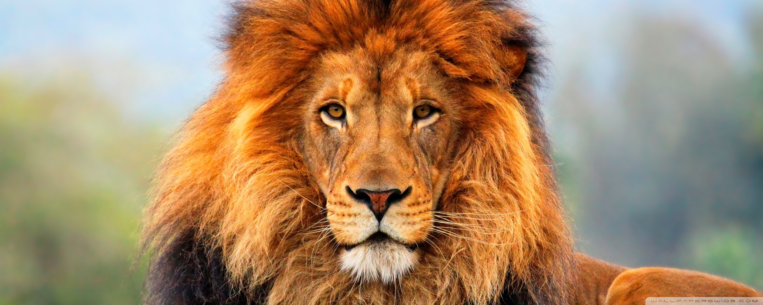 Animal Lion Wallpaper Full HD Colorful With Picture Of Animal Lion 2560x1024