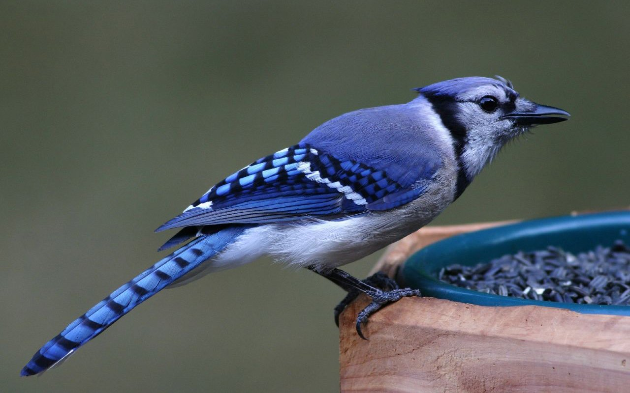Blue jay birds wallpaper HQ WALLPAPER   170890 1280x800