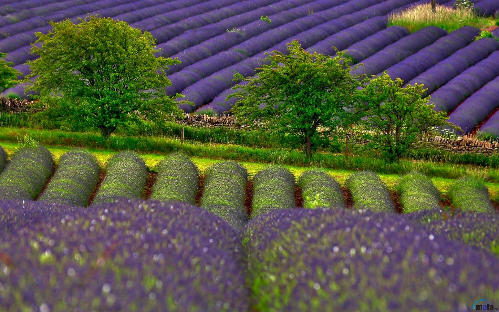 Download Wallpaper Lavender field 1680 x 1050 widescreen Desktop 1680x1050