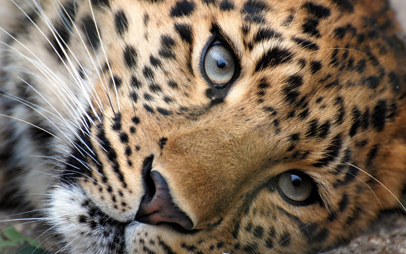 Download Leopard eyes wallpaper 1728x1080