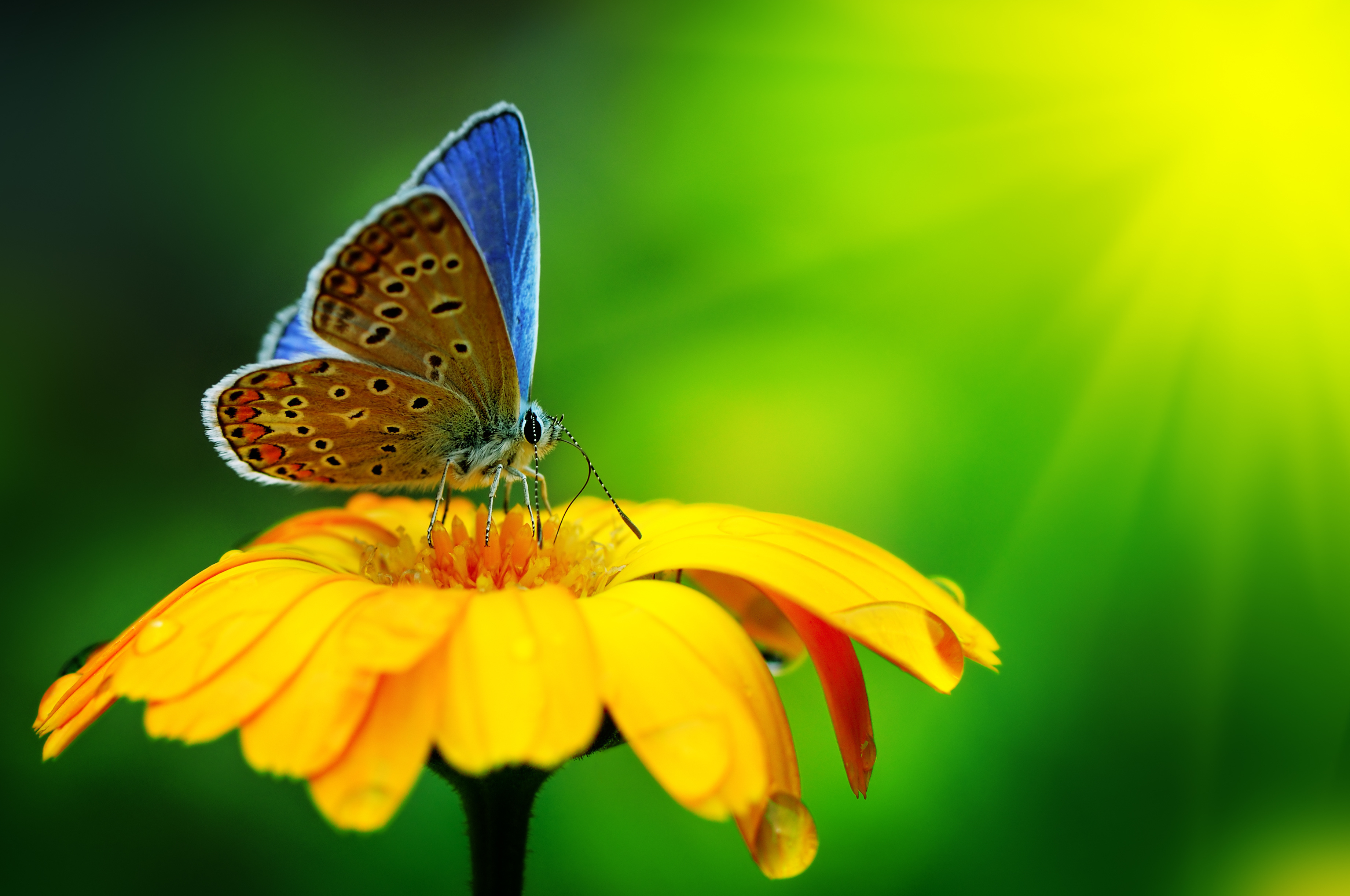 wallpaper butterfly insect flower drops yellow green bright wallpaper 3682x2445