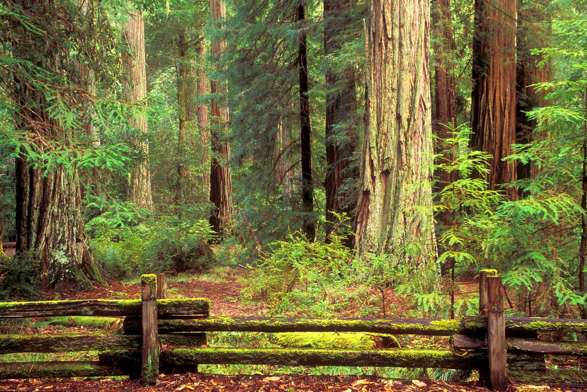 66 Redwood Forest Wallpaper On Wallpapersafari