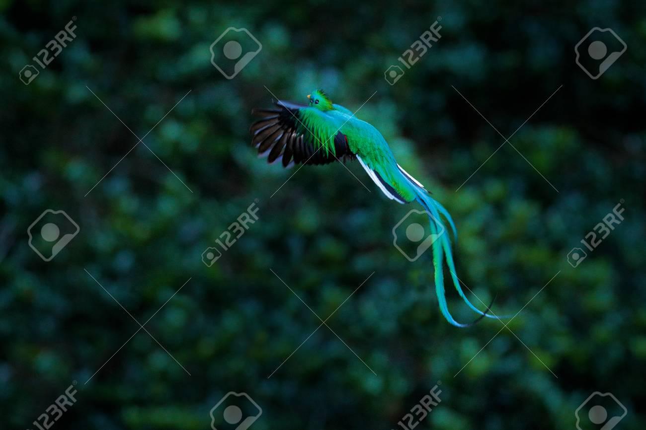 Resplendent Quetzal Flying Pharomachrus Mocinno Savegre In 1300x866