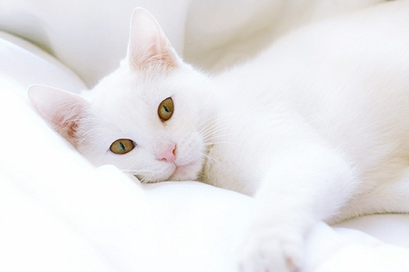 Free Download Adorable Cat White Cat Animals Cats Hd Desktop Wallpaper 800x532 For Your Desktop Mobile Tablet Explore 74 White Cats Wallpaper Cat Desktop Wallpaper Black And White Cat