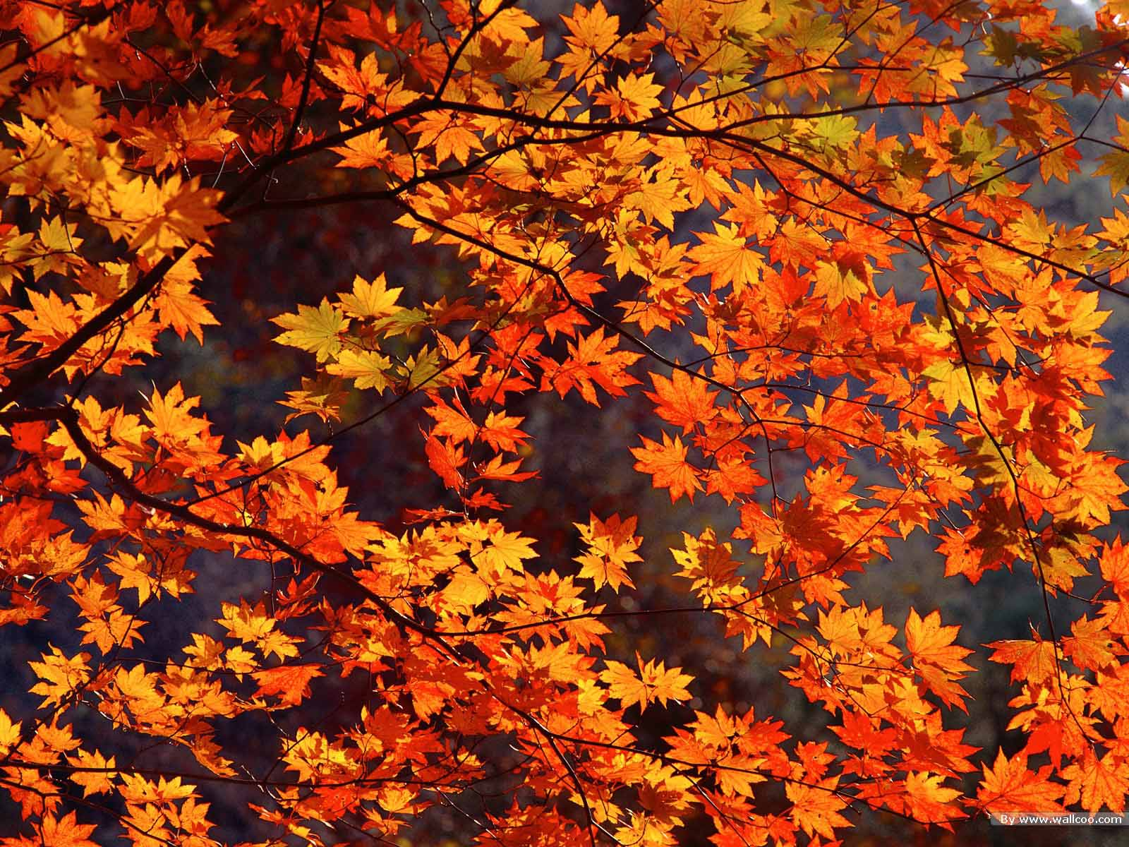 Autumn Leaves Live Wallpaper   Fall Computer Wallpaper 1600x1200