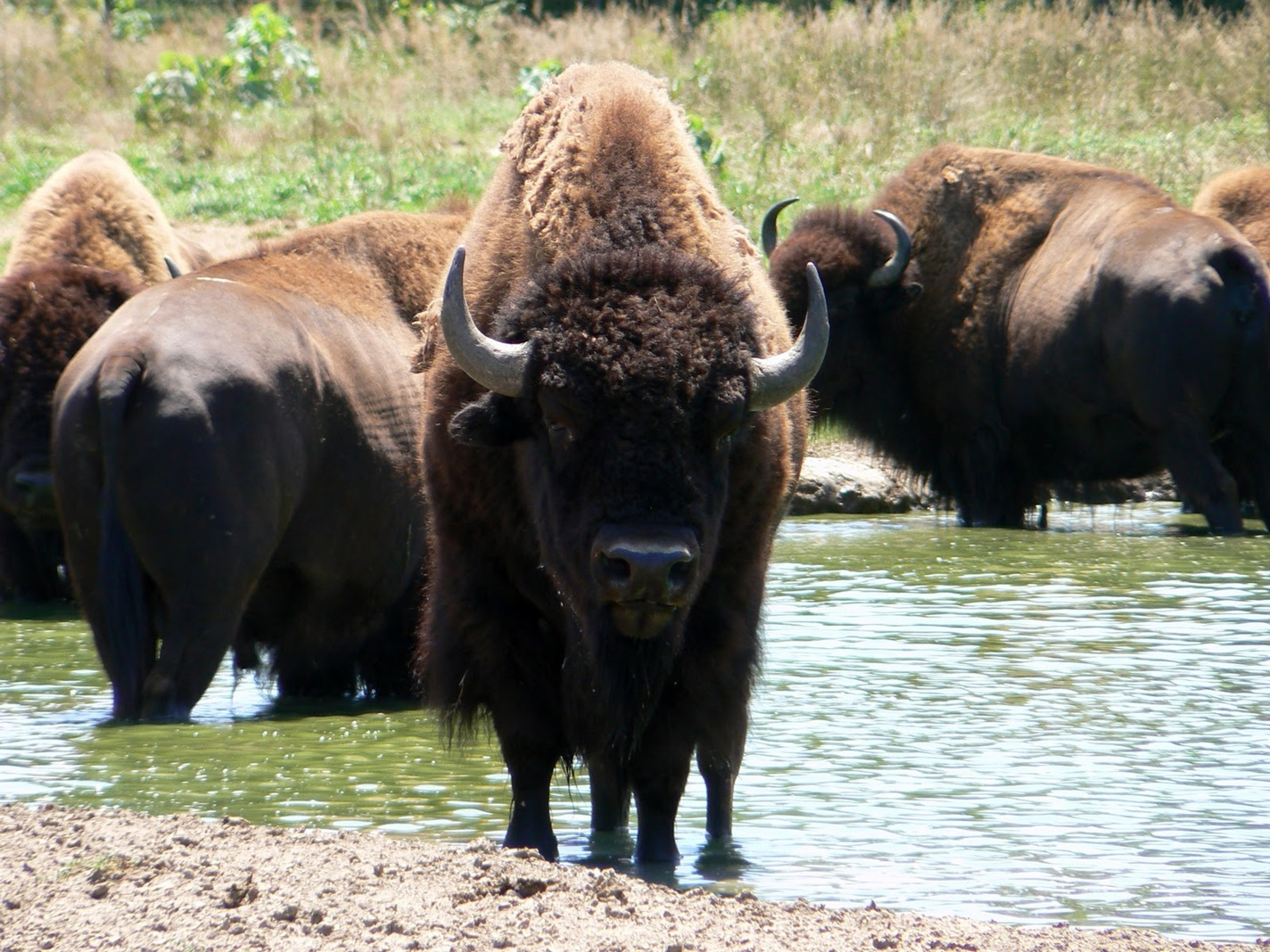 American Bison Wallpaper - WallpaperSafari