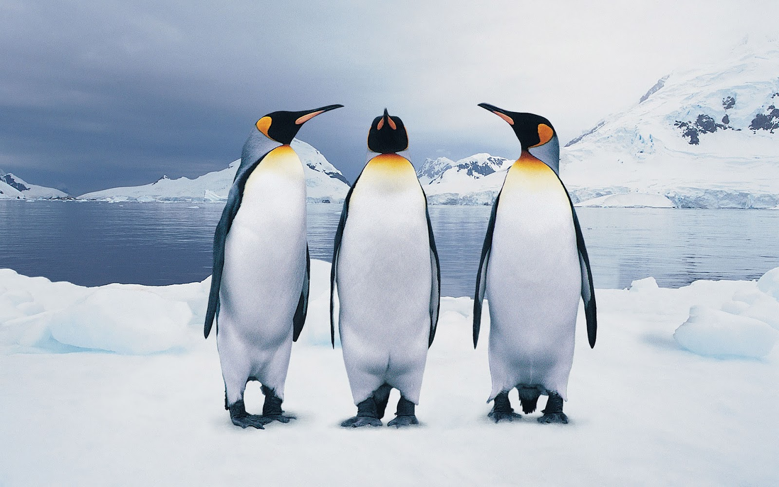 King Penguins Wallpaper and Background Image 1600x1000 ID 1600x1000