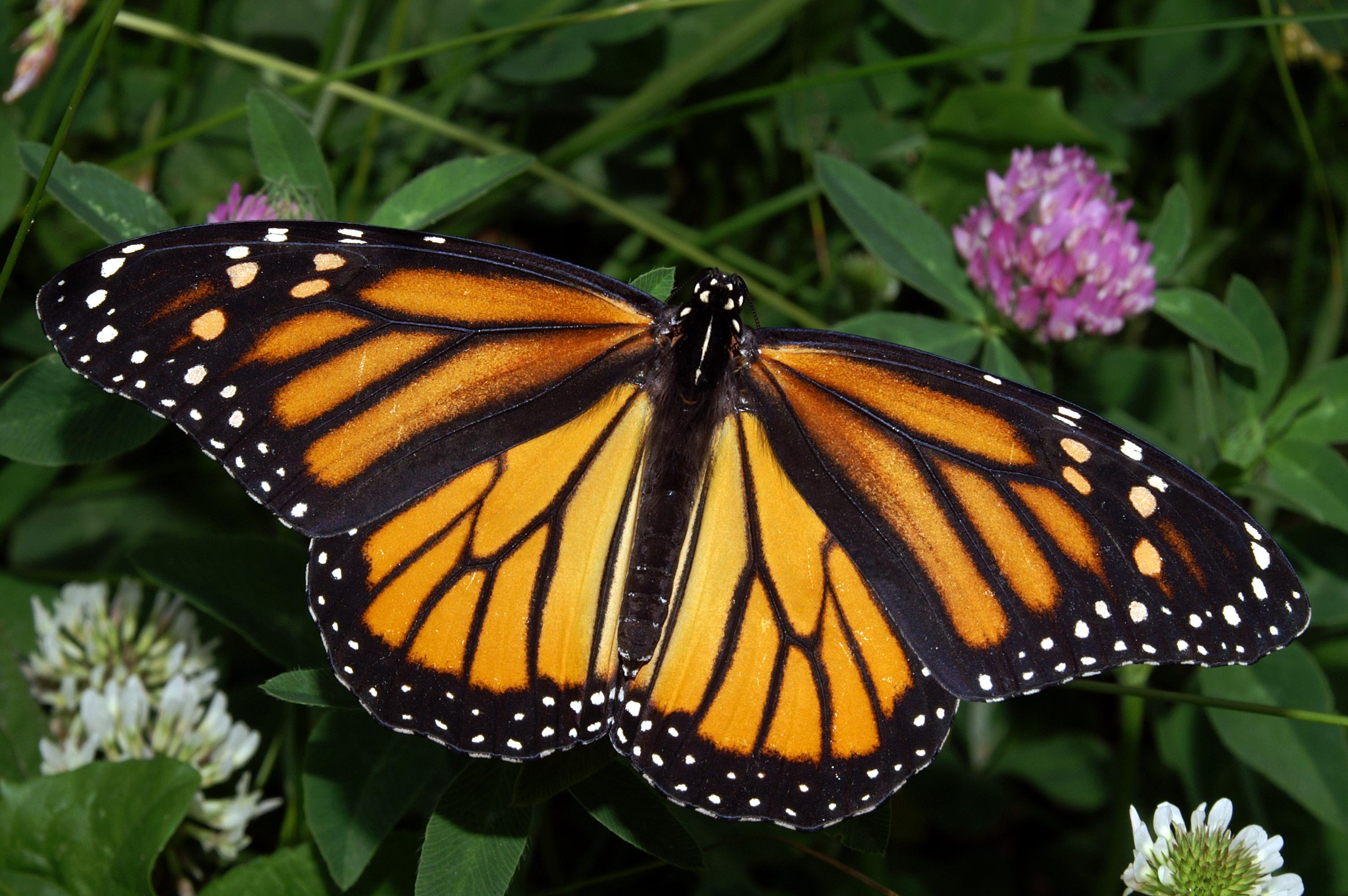 The Monarch Butterfly HD Wallpaper Animals Wallpapers 3008x2000