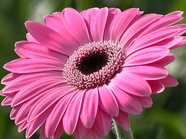 Beautiful Wallpapers gerbera and daisy flower wallpaper 600x450