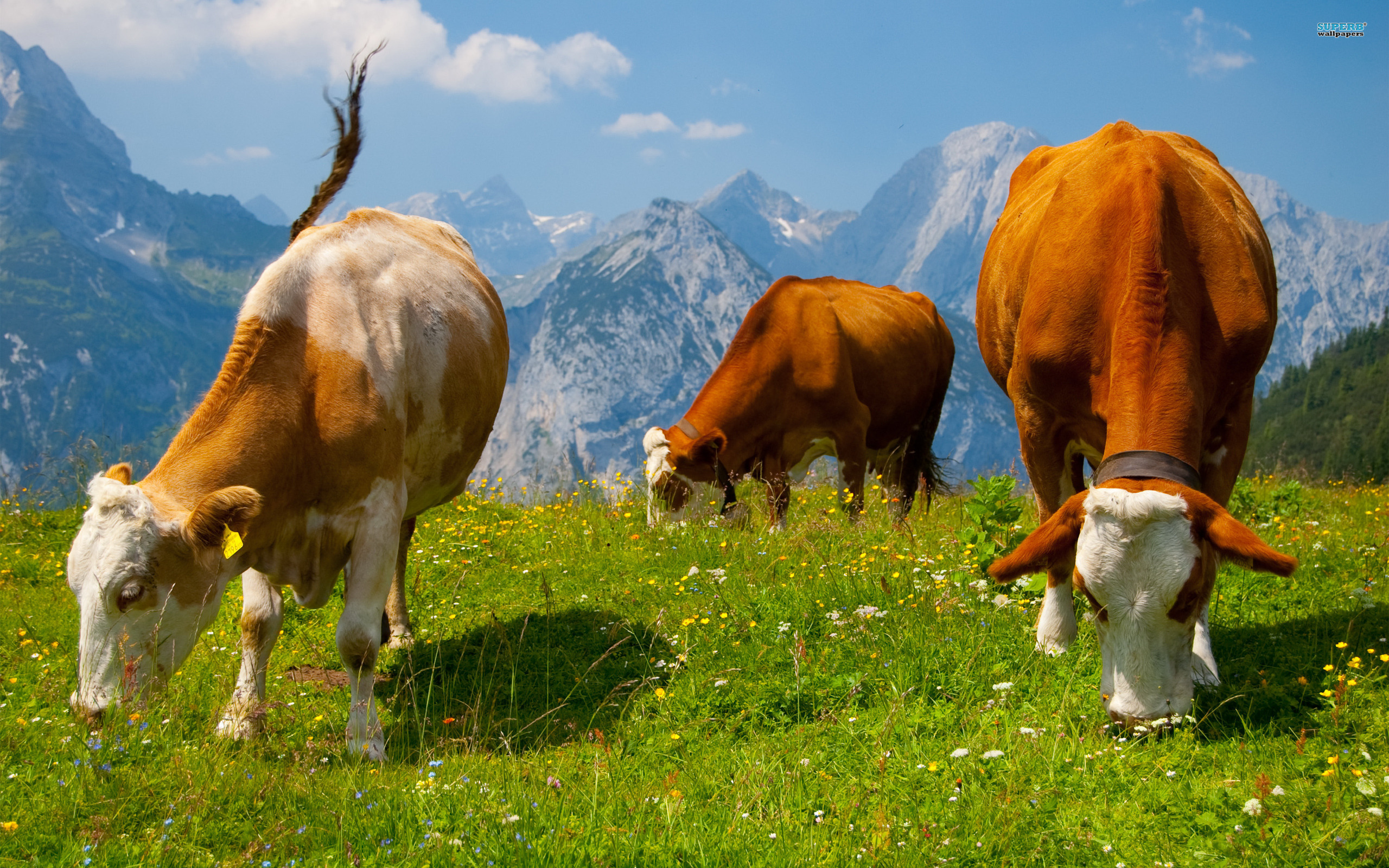 HD Cow Wallpaper