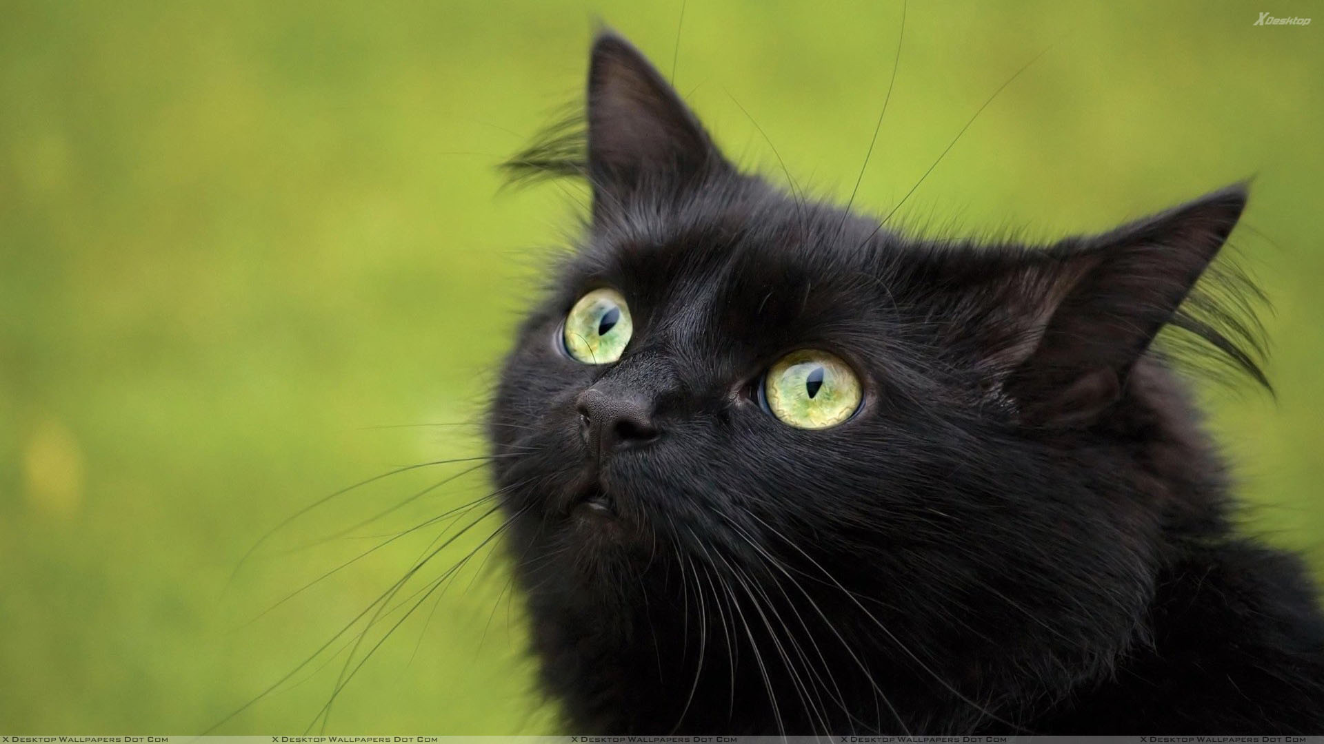 Black Cat In Green Eyes And Green Background Wallpaper 1920x1080