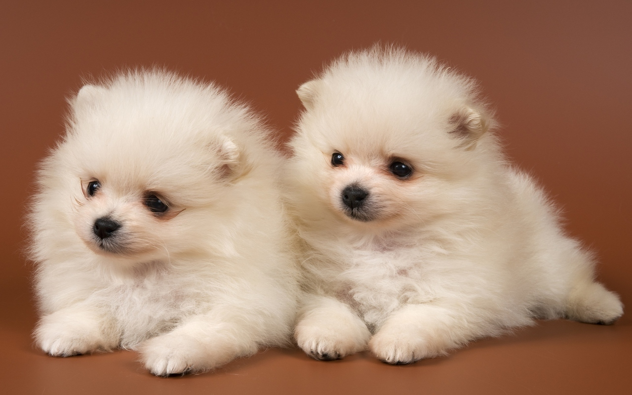 Puppies images Adorable Puppies HD wallpaper and background photos 1280x800