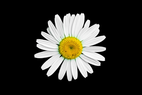 black and white daisy wallpaper wallpapersafari