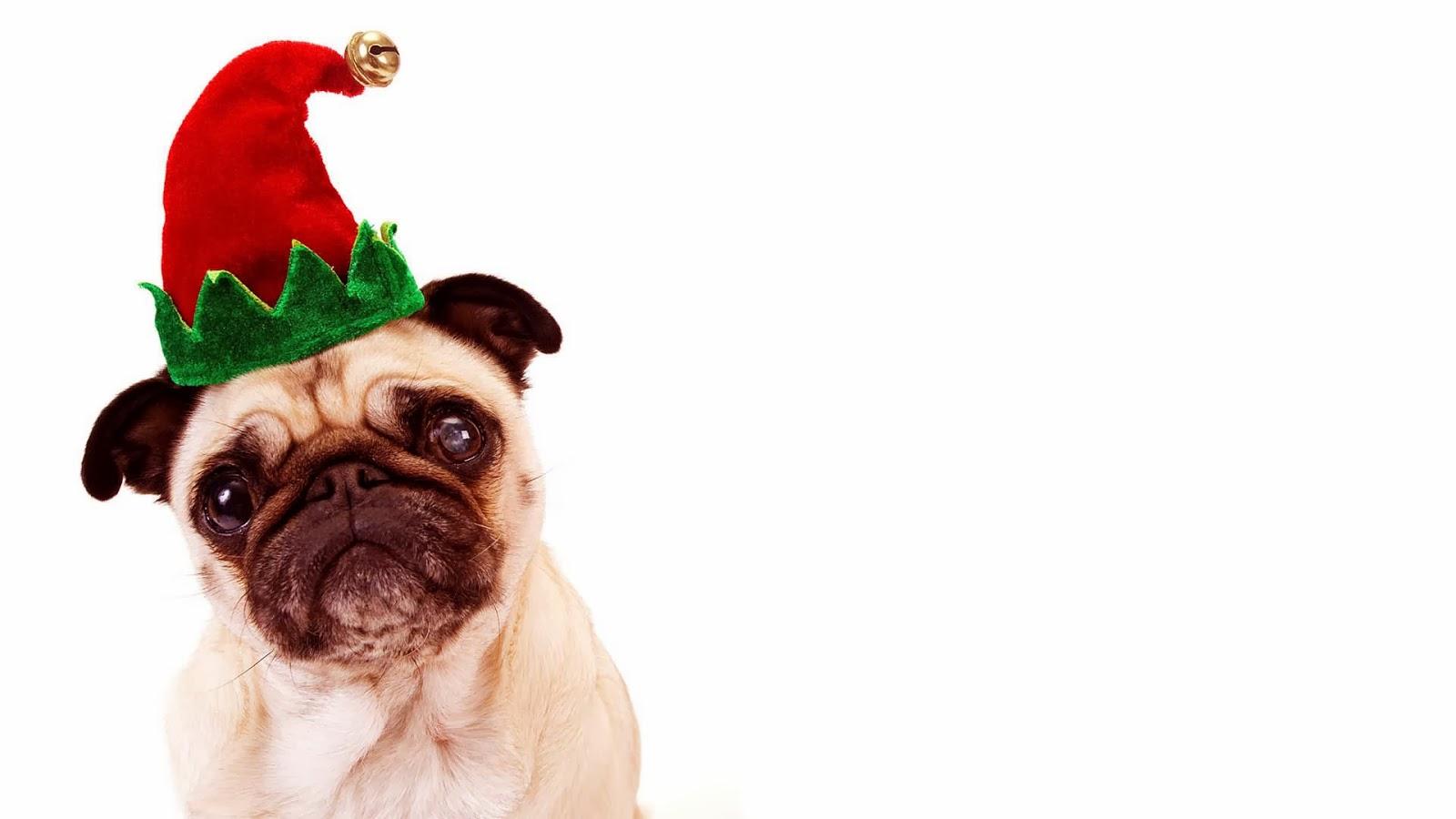 Christmas Wallpaper Pug Dog 1600x900