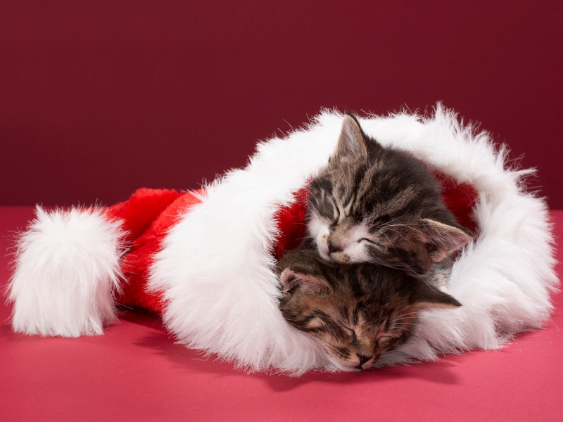 Description adorable cat Sleeping christmas kittens Wallpaper 800x600