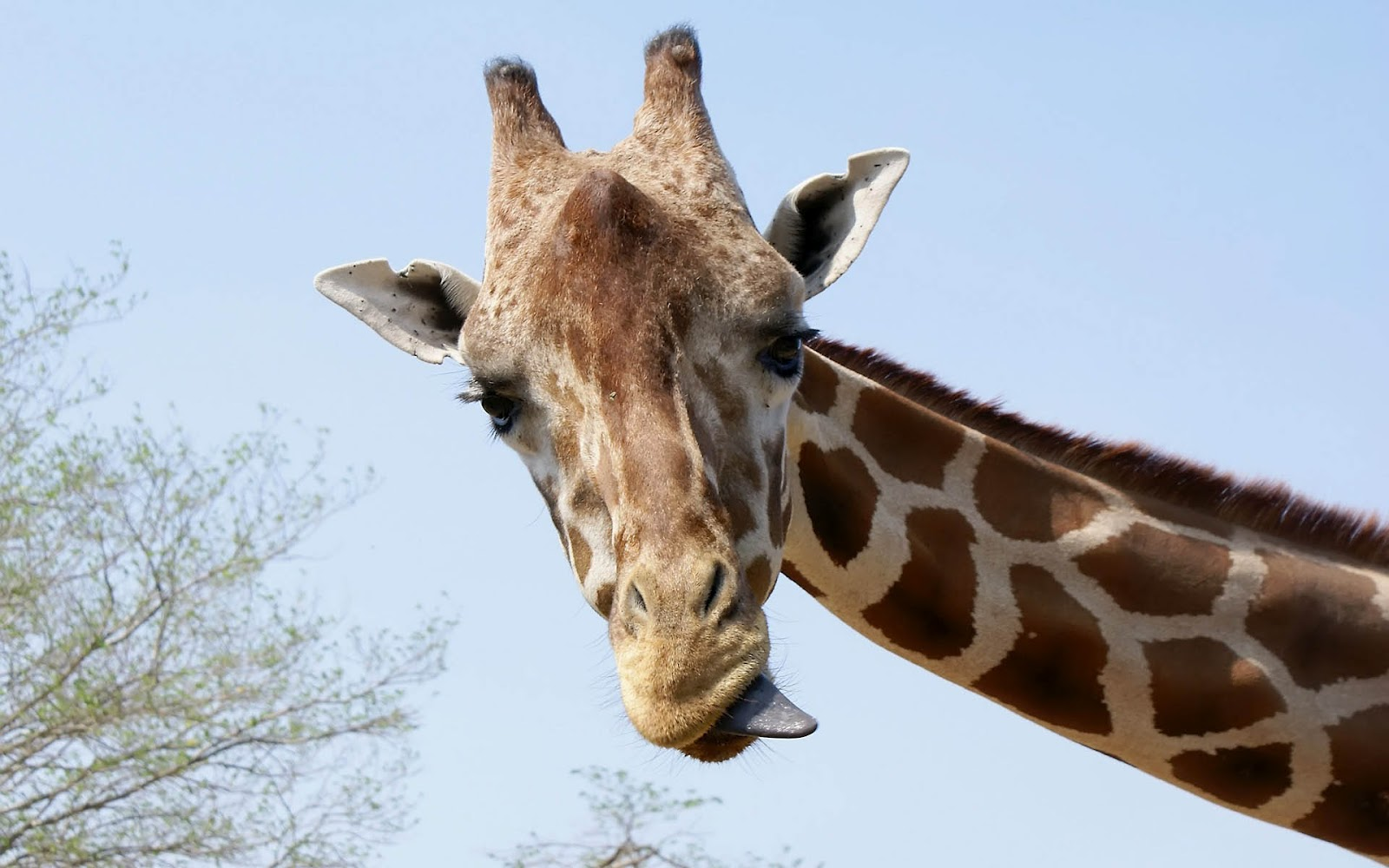 cute giraffe wallpaper wallpapersafari