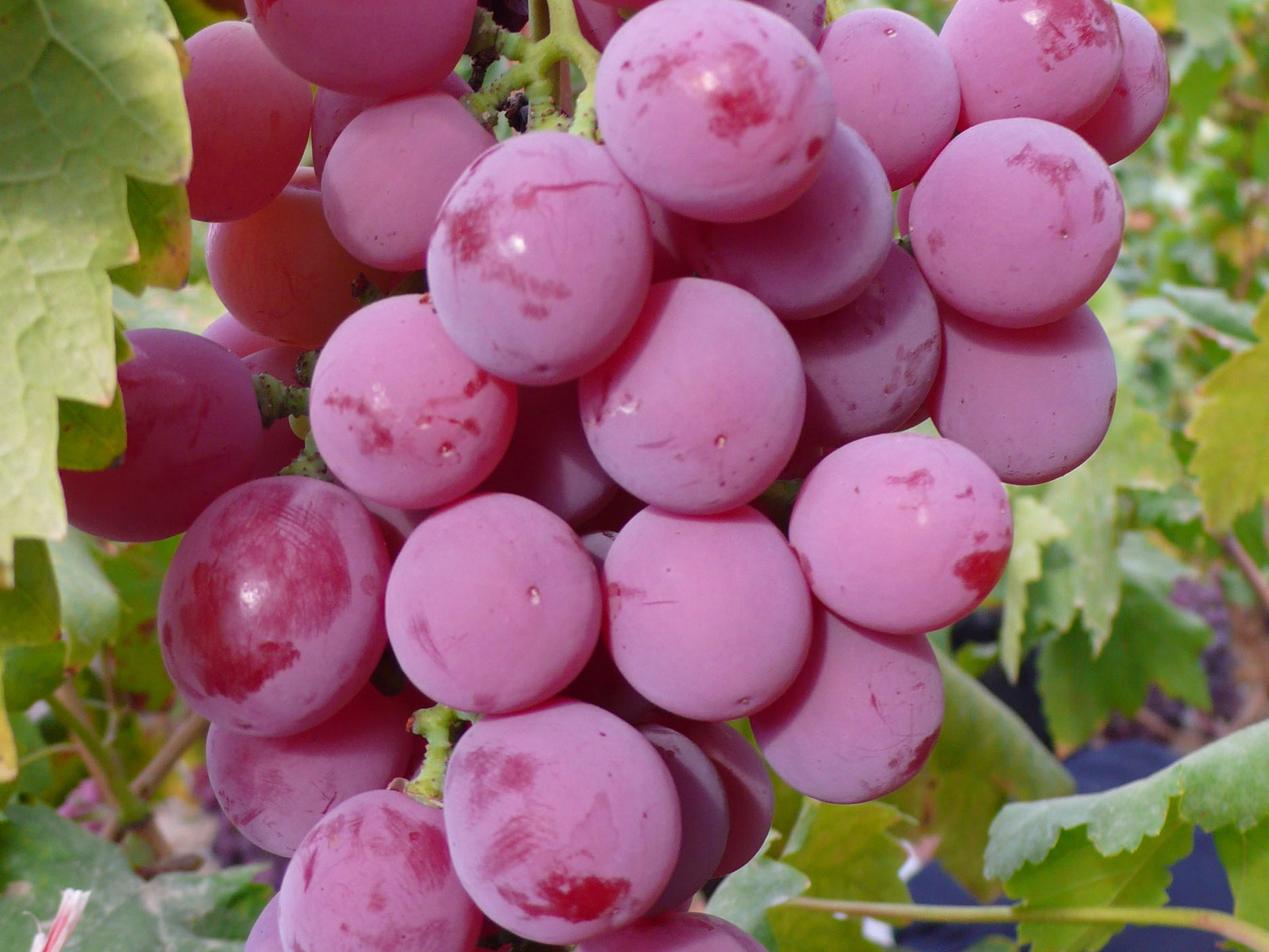 Food   Grapes Wallpaper 1920x1440