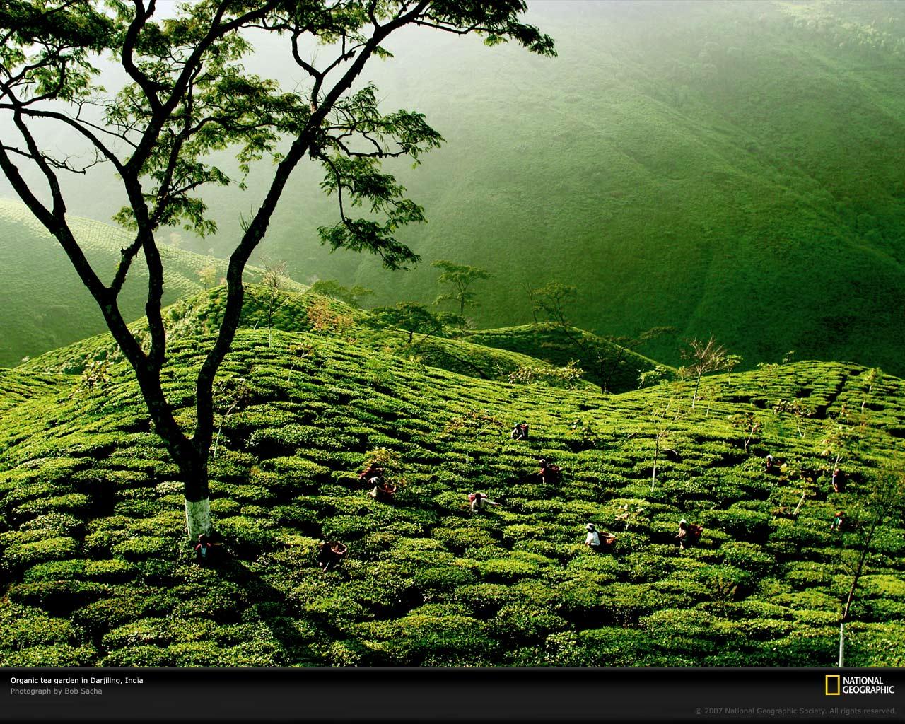 Green Tea Wallpaper Wallpapersafari