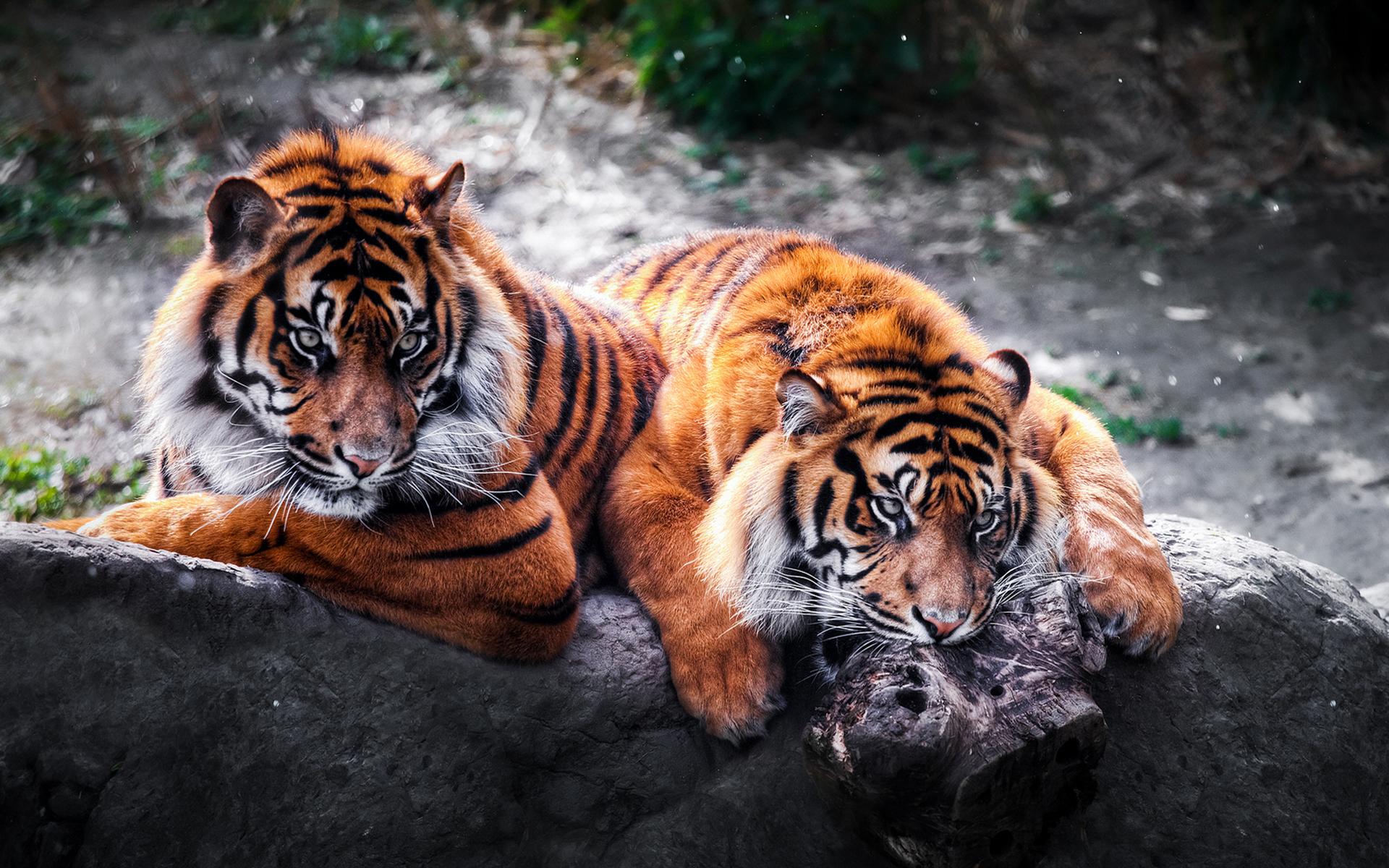 Wild Tigers HD Wallpaper 1920x1200